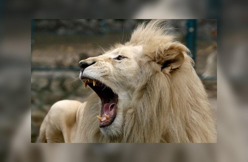 Львы в Южной Африке съели охотившегося на них браконьера