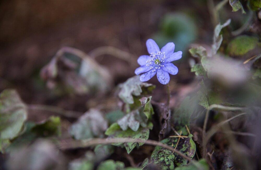 Kuigi sinililled õitsevad Eestis üldiselt märtsi lõpust maini, siis võib neid aiast leida ka praegu.