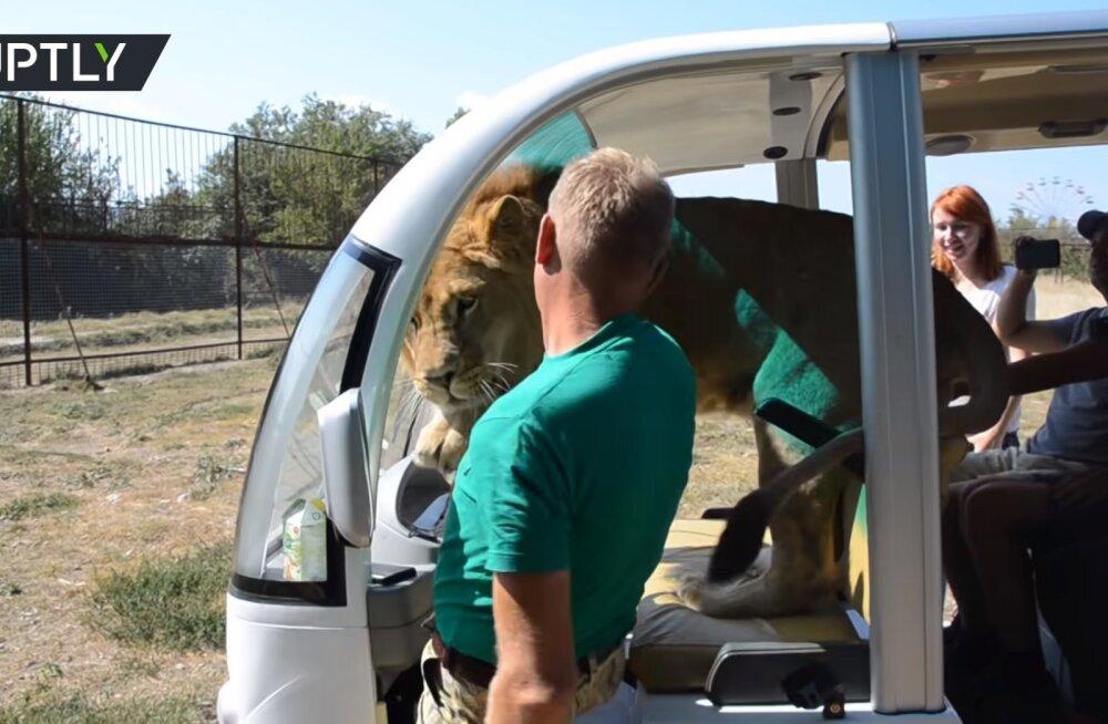 VIDEO | Ehmatada või heldida? Lõvi ronib turistidele sülle nagu kassipoeg