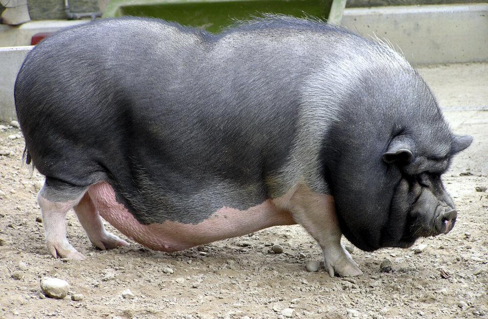 SAAME TUTTAVAKS: Vietnami siga Chowder, kes arvab, et ta on koer!