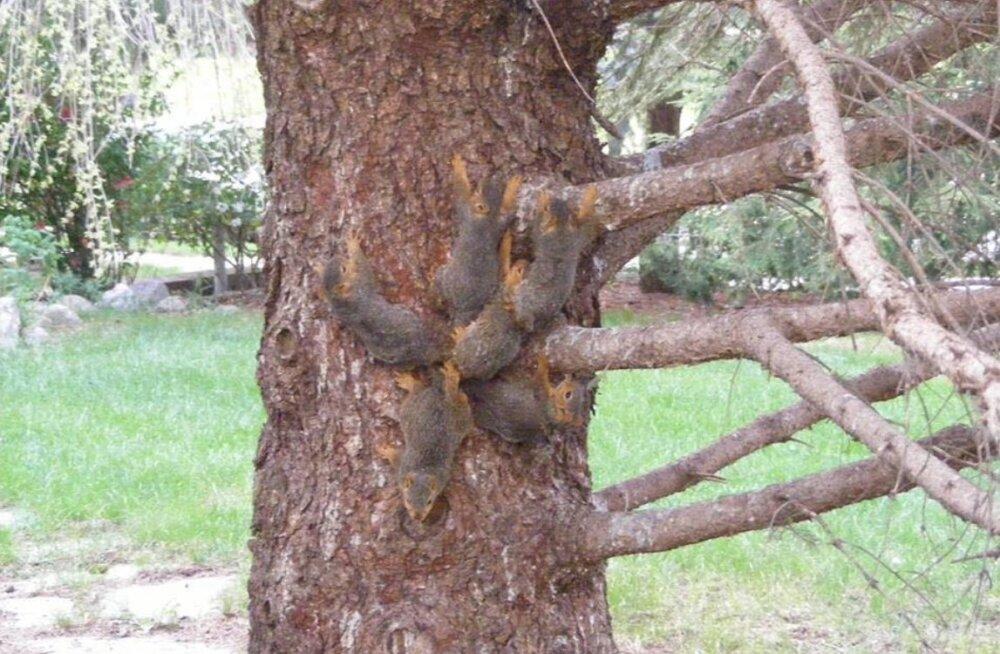 KURIOOSUM | Loomakaitsjad tulid appi omavahel sõlme sattunud kuuele oravapojale