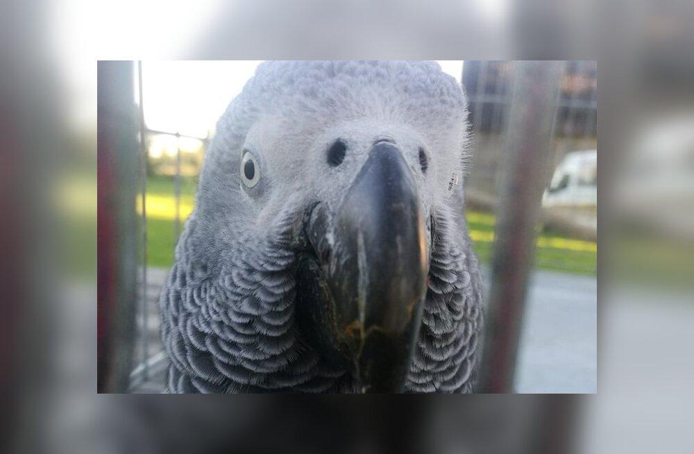 FOTOD | Kurioosum: Palmses tegi Aafrika papagoi võõrale perele üllatusvisiidi