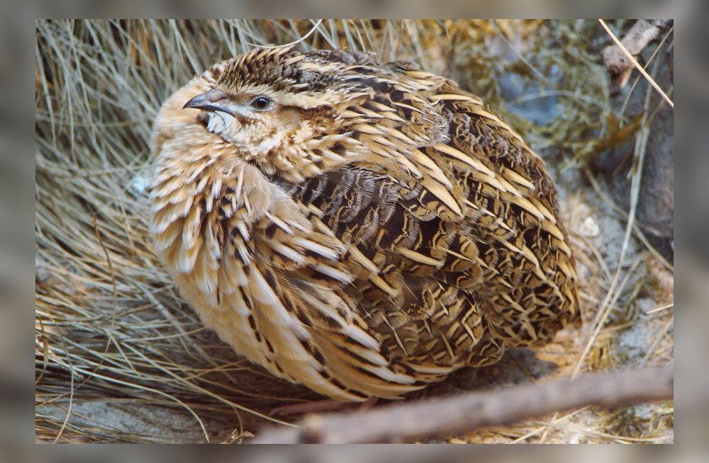 Ka linnud võivad olla mürgised: neli tiivulist, keda ei maksa põske pista