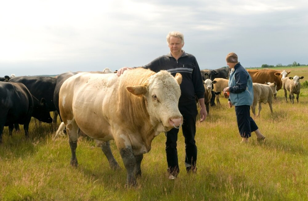 Tõnu ja Sirje Kaptein oma loomadega Hiiumaa karjamaal.