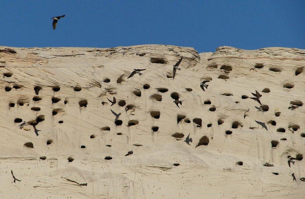 Ornitoloogiaühing kutsub kaldapääsukeste kolooniaid kaardistama