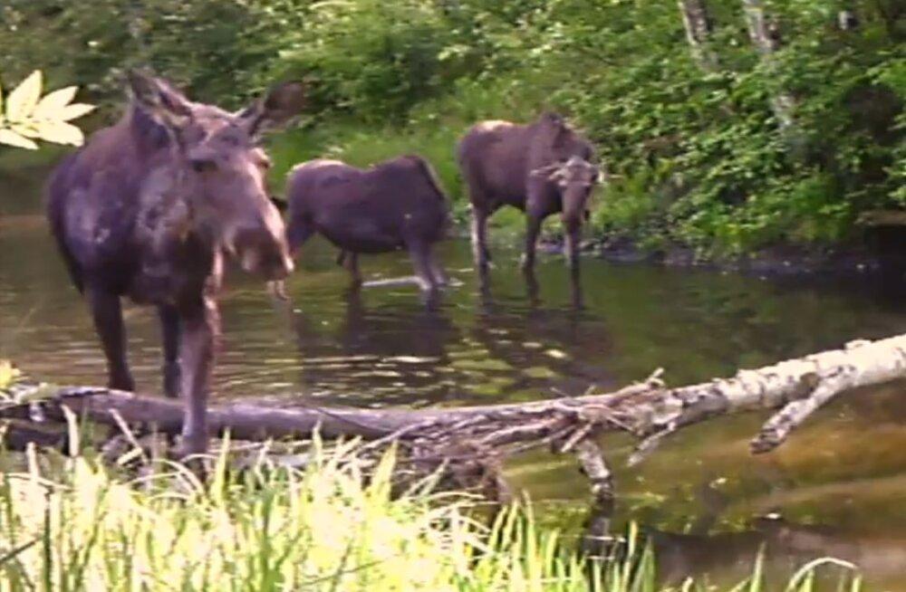 Imeline VIDEO | Loodusfotograafi rajakaamerasse jäid vapustavad kaadrid metsloomadest
