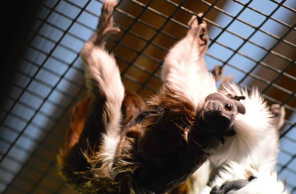 LÕBUSAD FOTOD | Tallinna loomaaia pintšetamariinid näitavad virgutusvõimlemise poose