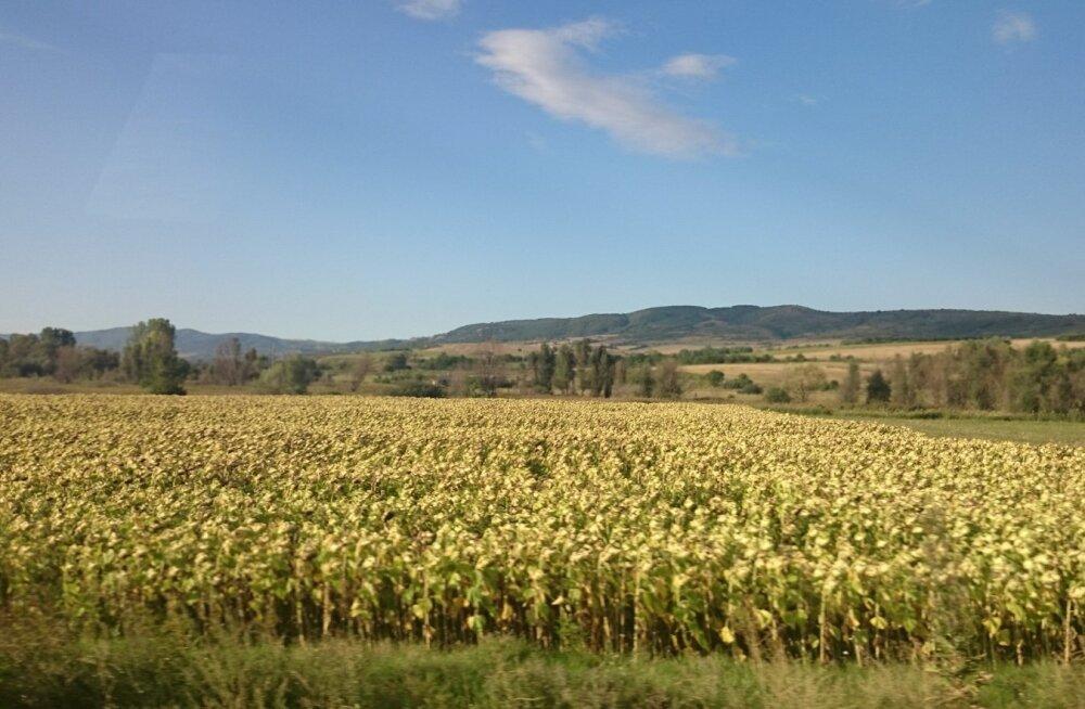 Päevalilleväljad on selge märk päikeselistest päevadest Bulgaarias.