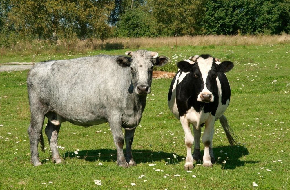 Alaveres ilmastiku meelevallas elanud lehmakarjast saadeti enamik taevastele karjamaadele