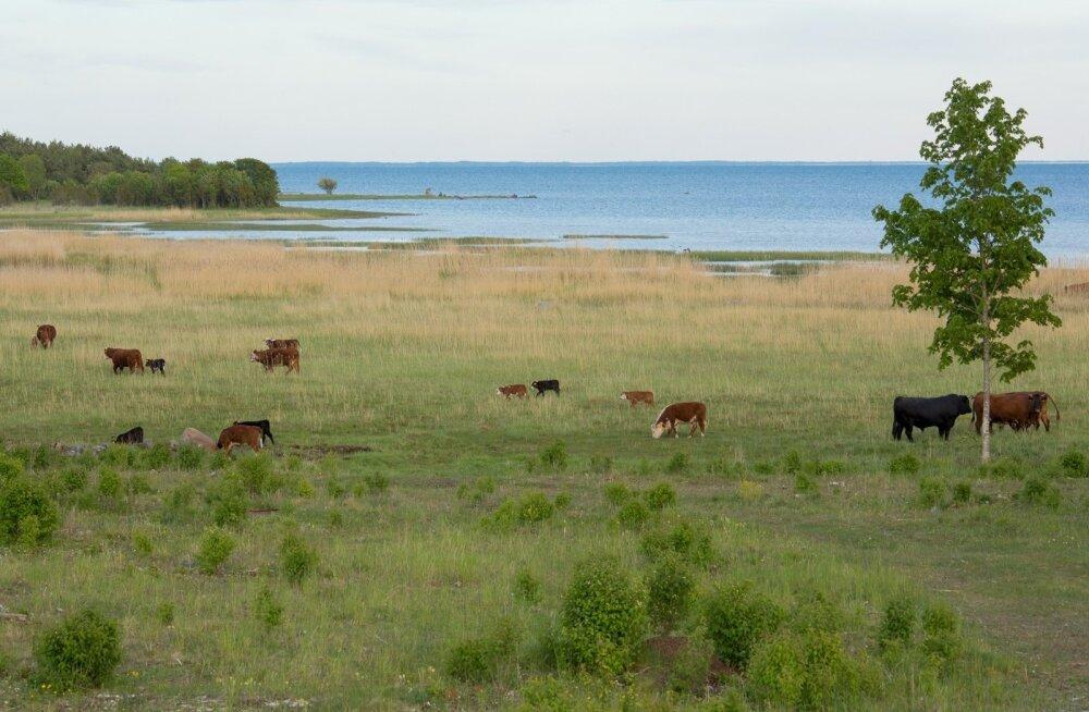 Lihaveised mere ääres. Pilk Kassari maastikule juunis 2017.