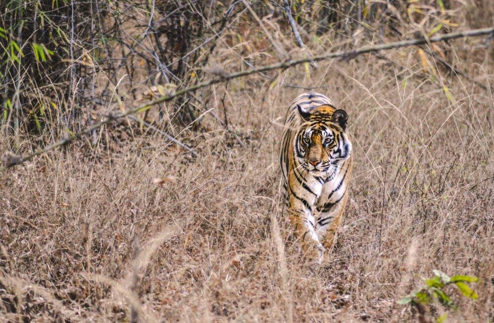 REISIIDEE LOOMAFÄNNILE | Viis parimat sihtkohta planeedil Maa, kus näeb veel tiigreid nende loomulikus elukeskkonnas