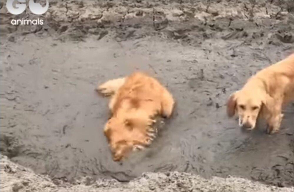 Naljakas VIDEO | Kaks koera tunnevad paksus mudas püherdamisest tohutut rõõmu