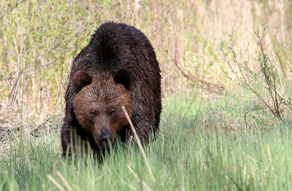 Eestis tohib sel aastal tappa 93 karu