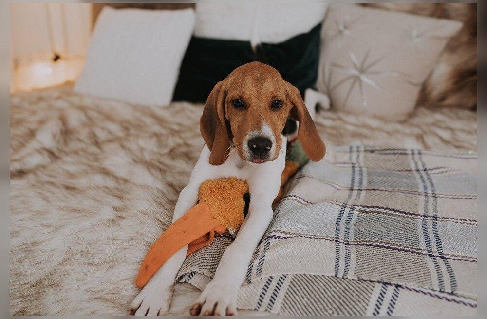 FOTO | Pärnumaal rööviti päise päeva ajal koduhoovist koer