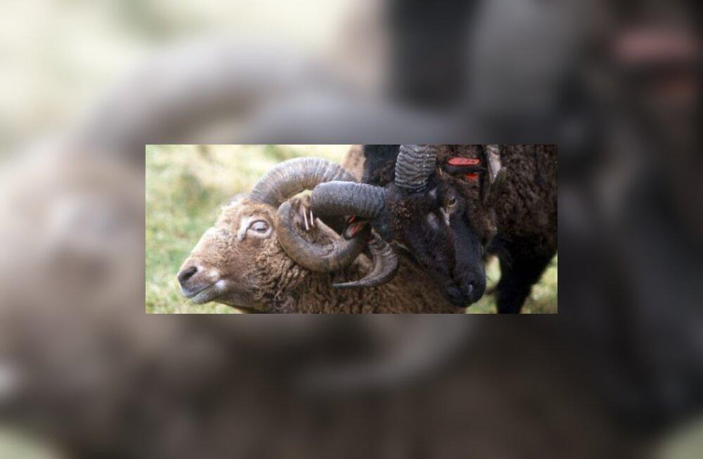 Kliima soojenemine kahandab lammaste kasvu