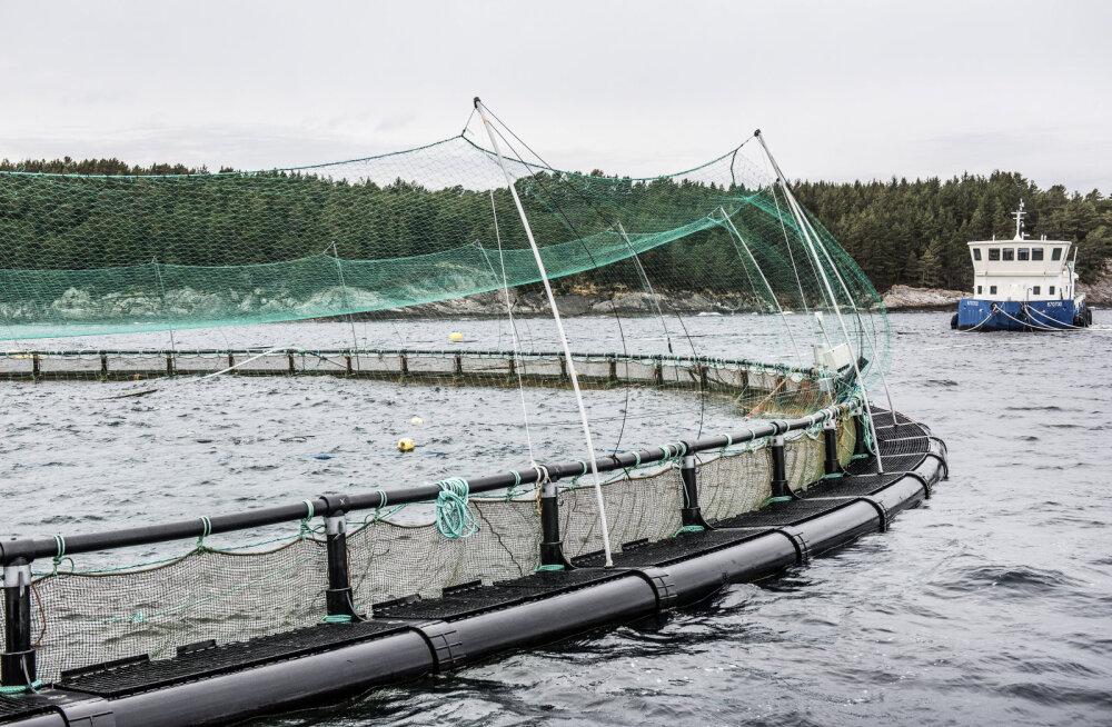 Saarlaste firma plaanib avamerele hiiglaslikke kalakasvandusi