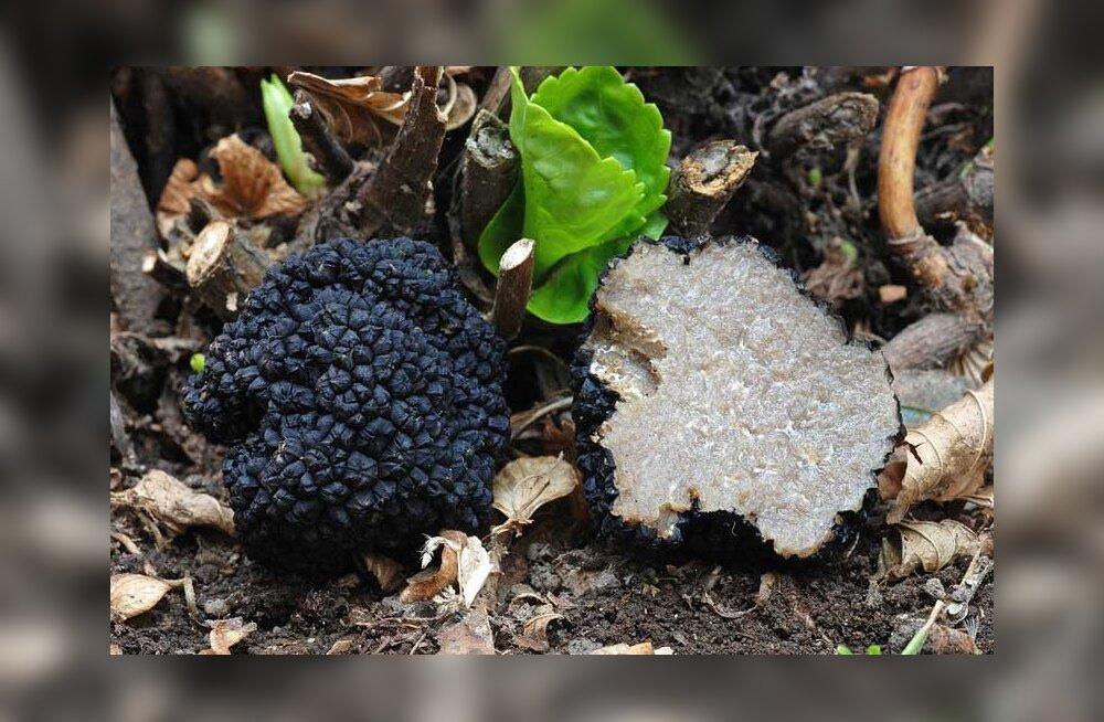 Tubli trühvlikoer tabas Valgamaa metsast siinkandis üliharuldase suvetrühvli