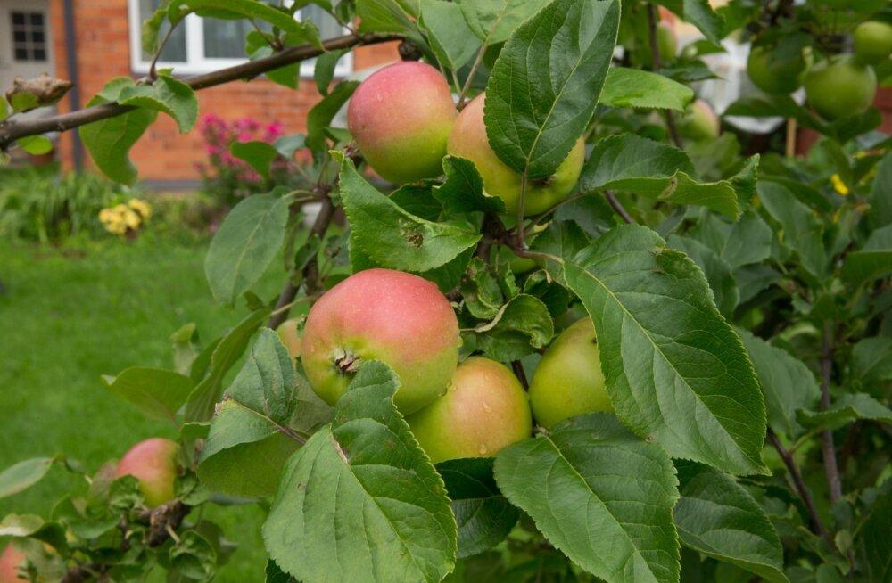 Õunapuu, õunad, õun