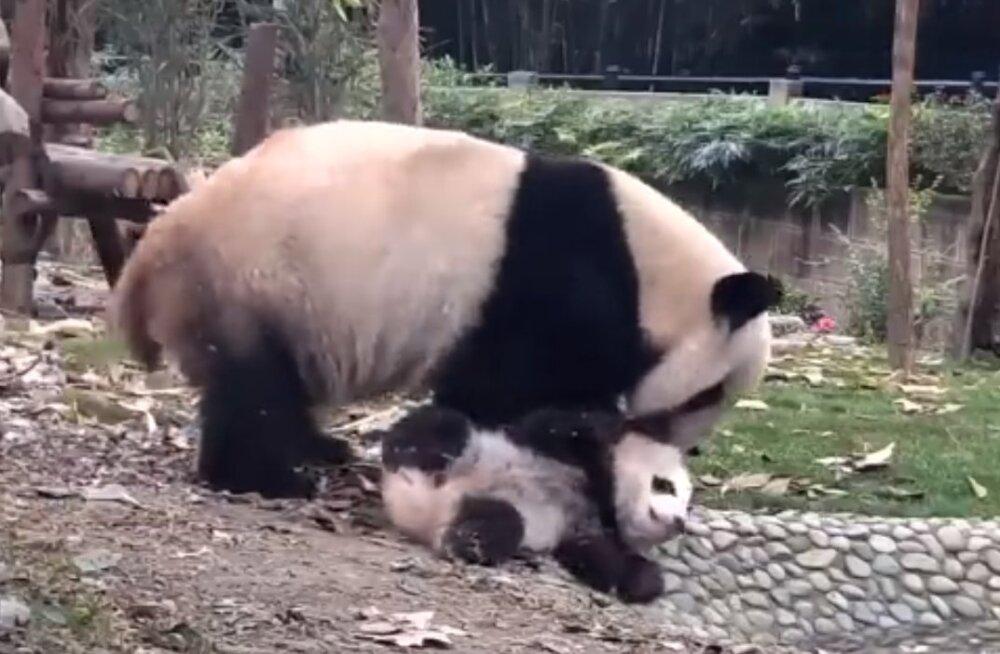 Naljakas VIDEO   Emapanda püüab meeleheitlikult oma ulakat poega vanni meelitada, kuid pojal on hoopis teised plaanid