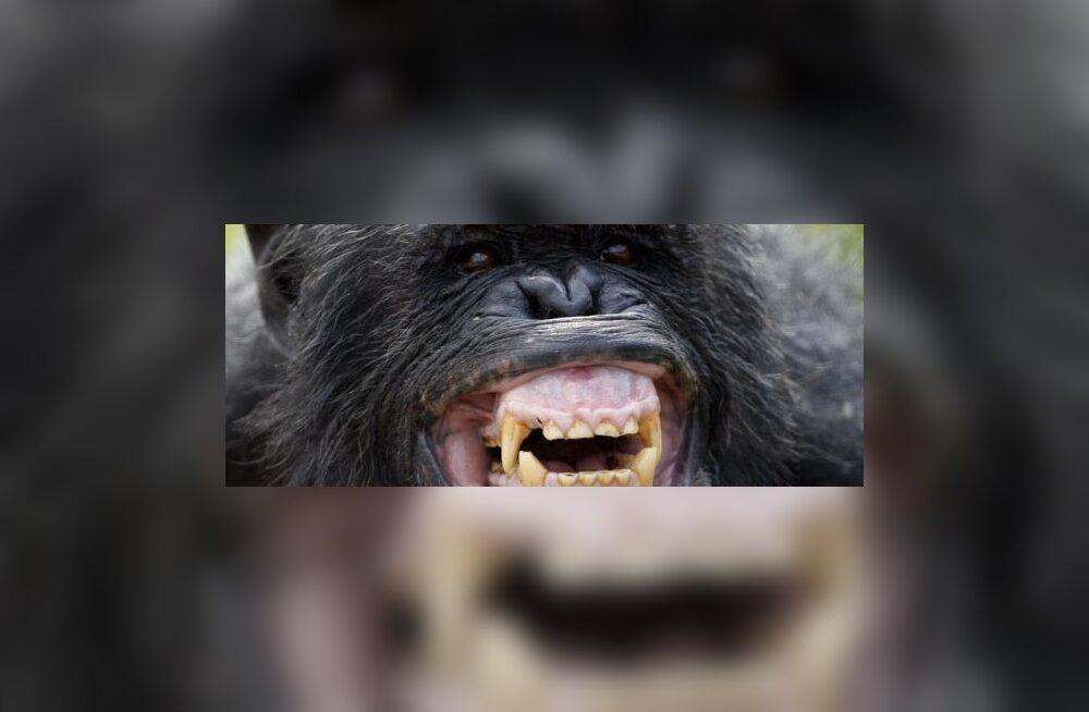 Kuidas šimpans šimpansit tunneb?