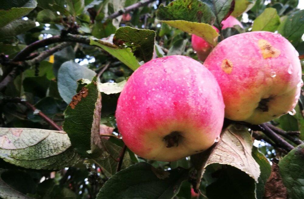 Koduaedades on suurepärane õunasaak, kuid palju on ussitanud või kahjustustega õunu