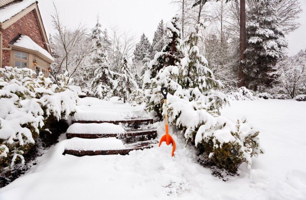 Õrnad taimed tasub paksu lumikatte alt päästa.