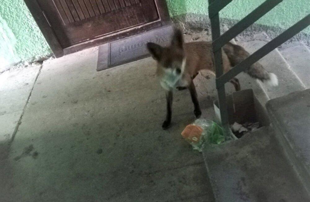 ФОТО: Смелая лисица удивила утром весь подъезд