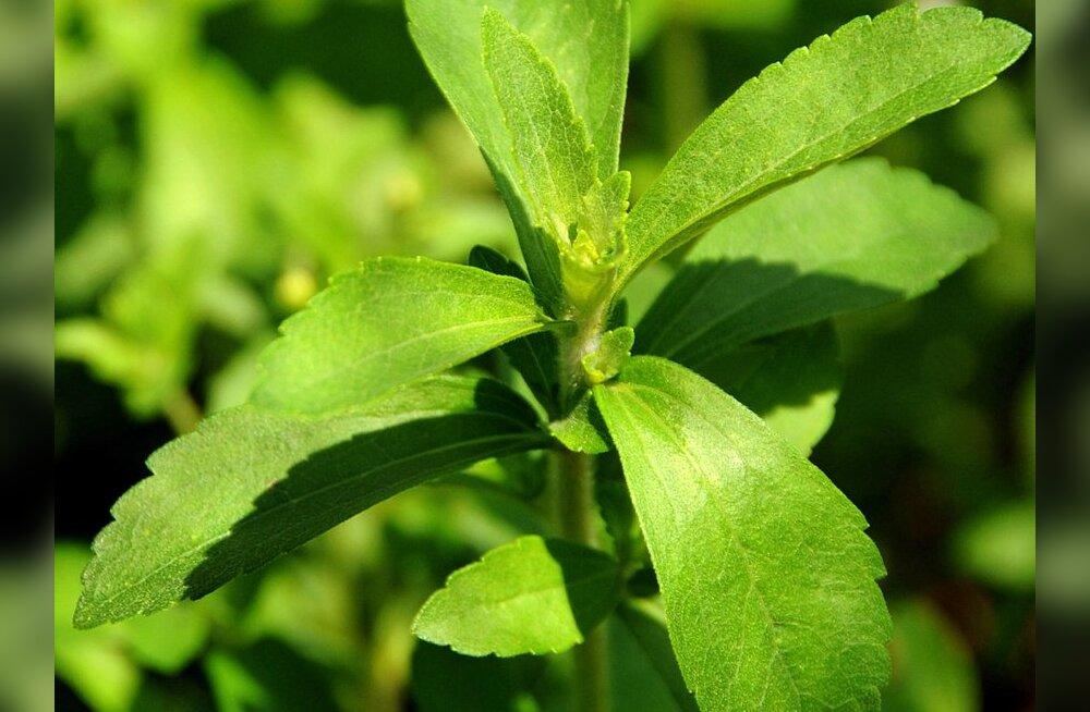 Kalorivaba ja tervislik alternatiiv suhkrule — stevia