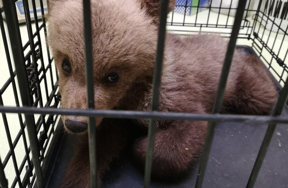 Eesti metsast leitud karupoja juhtum ajas loomakaitsjad tagajalgadele: miks viidi loom tagasi metsa surema?
