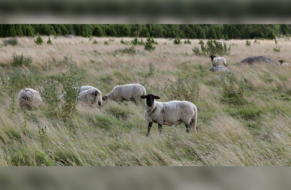 Vanadusest nõrkevad hambutud lambad ja kanistritega traktoritesse kütust vedav firma tegevjuht on kaasaegses lambakasvatuses tegelikult kummalised nähtused, mille mõistmiseks ei pea põllumajandusteaduste doktori kraadi omama.