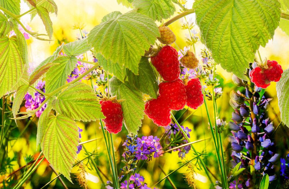 Vaarikas - taim, mille lehti peaks leiduma kõikide naiste ravimikapis