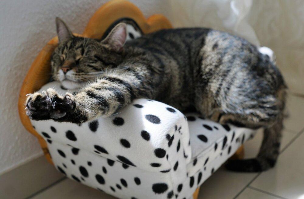 Käepärased NIPID | Mida teha, kui kass kraabib mööblit?