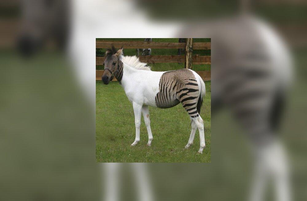 Sebrune või hobra?