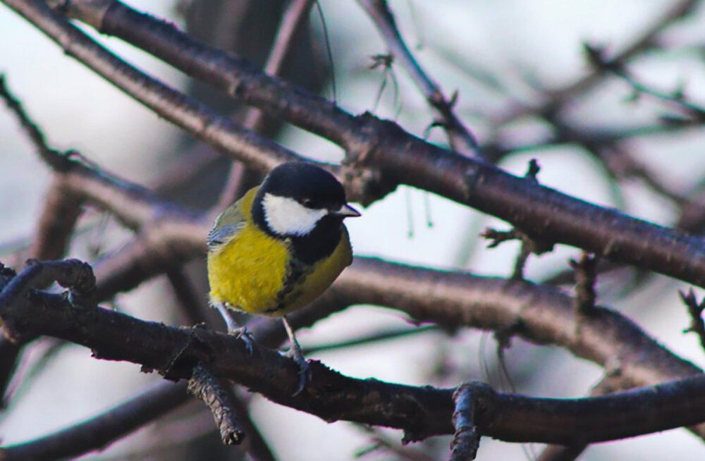 Pilgud aknast välja: talvine linnuvaatlus võib olla ütlemata põnev!