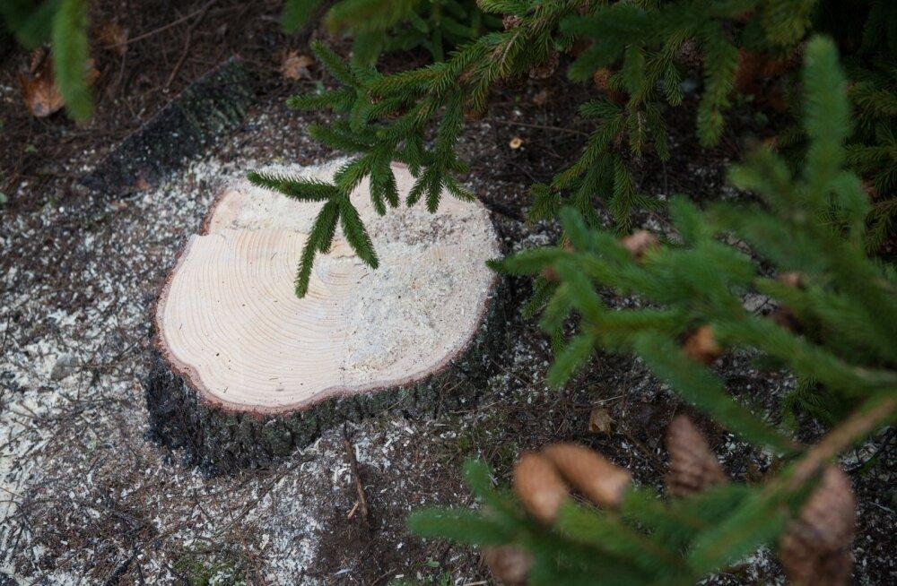 Metsaärikad valisid aasta puuks kännu.