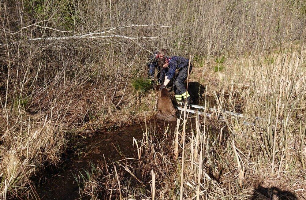 FOTO | Päästjad tõid põdravasika kraavipõhjast välja