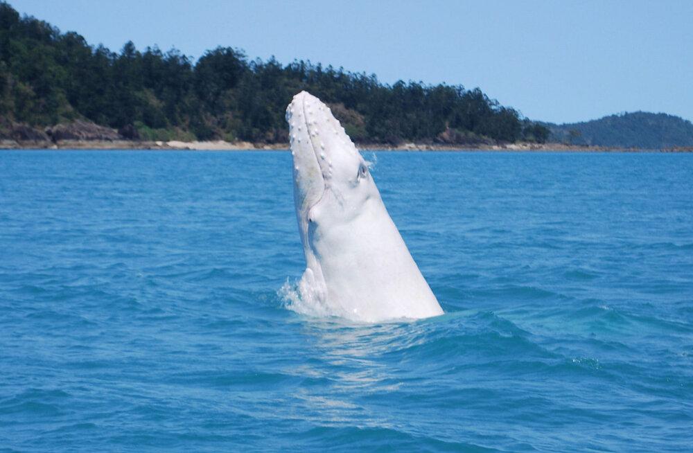 У берегов Австралии заметили редкого белого кита