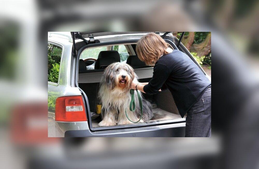 Suvel omapäi autosse jäetud koera ohustab kuumarabandus
