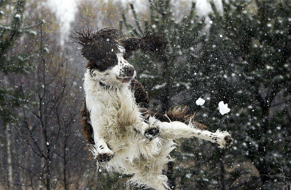 Sarnasus Piibujutus kirjeldatud koertega on juhuslik või puudub üldse - see jääb lugeja otsustada.