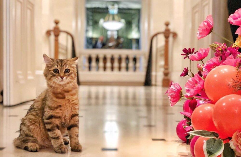 Elu nagu kuninga kassil! Londoni luksushotelli uusim töötaja on Siberi metskass, kellele söödetakse vaid Michelini-tärni väärilisi palakesi