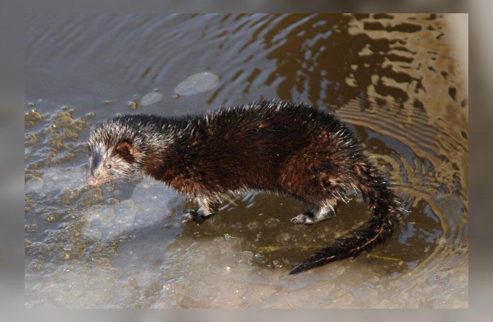 Keskkonnakaitsjad protestivad Noarootsi kavandatava mingifarmi vastu