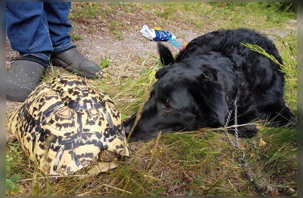 Kaduma kippuvad kilpkonnad: mida saab omanik ise ära teha?