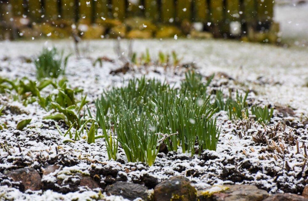 Kaunist kevadilmast võib vaid unistada: lähiajal oodata lumesadu ning öösiti miinuskraade