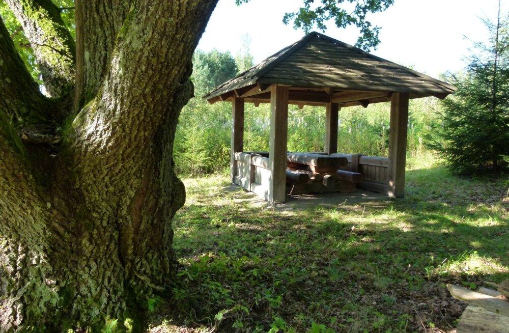 Paras paik metsateraapiaks: tamm, mille alla metsaomanik Tõnu Mändla on rajanud puhkekoha, on võimas fütontsiidide eritaja.