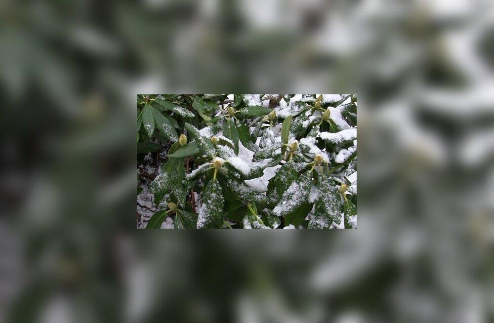 VIDEO: talveks katmine on rododendronile ohtlik