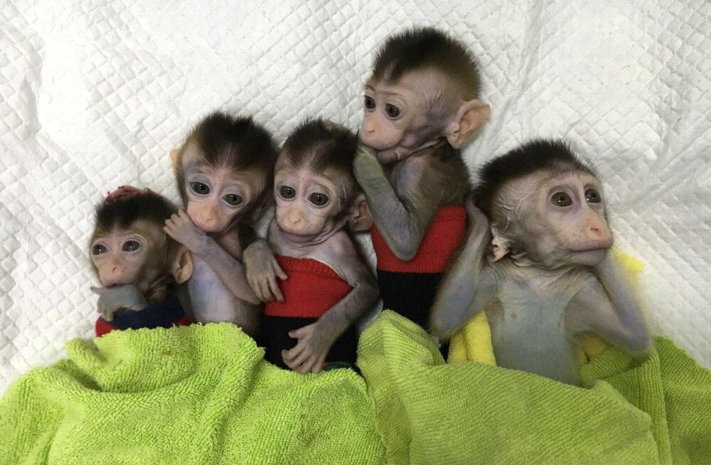 Järjekordne kummaline geenimuundamisprojekt Hiinas: teadlased kloonisid ülikergelt haigestuvat ahvi