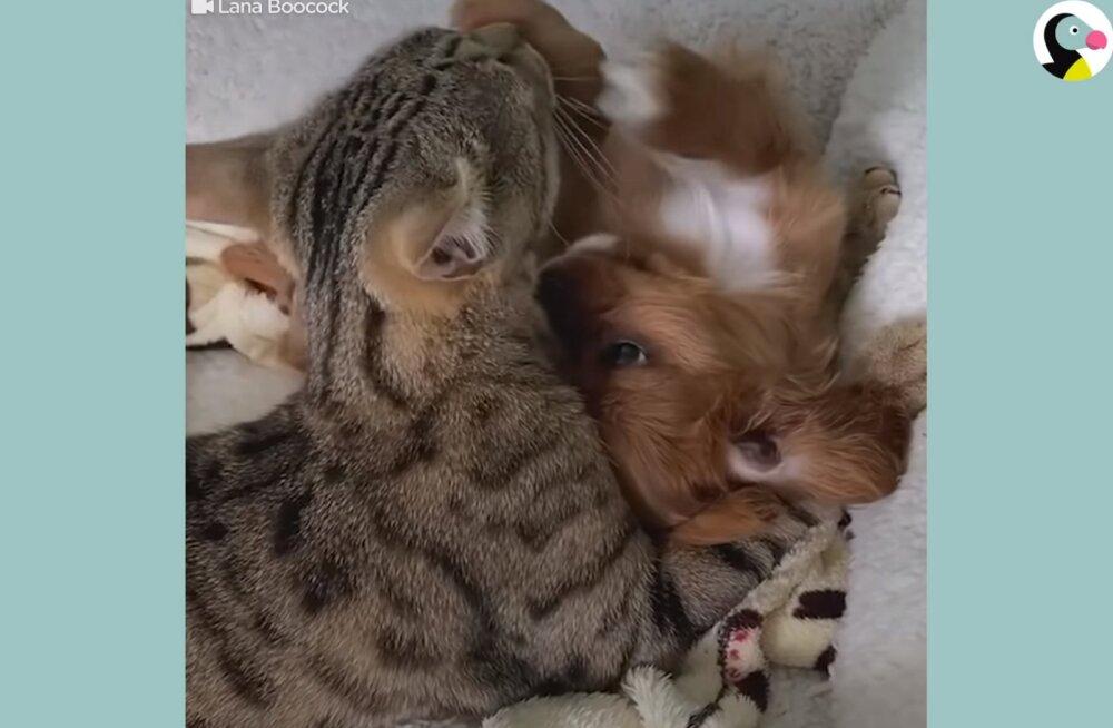 NUNNU VIDEO | Armastus esimesest silmapilgust! Isane kass on pöörane perre saabunud kutsika järele