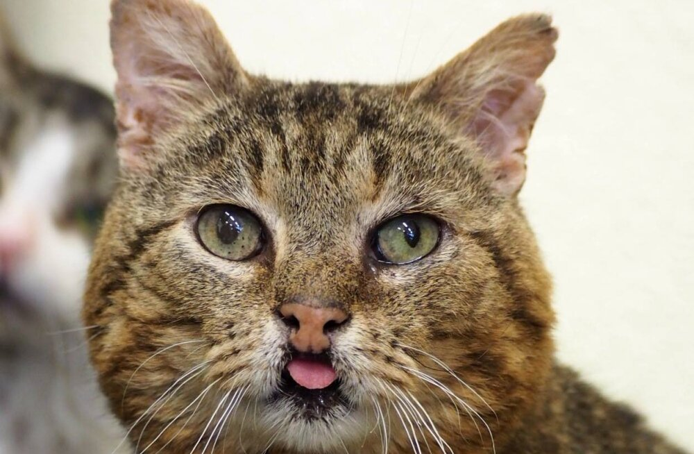 Hagridi lugu | kass, kelle nägu on nii armas ja eriline, et teda vaadates on lausa raske tõsiseks jääda