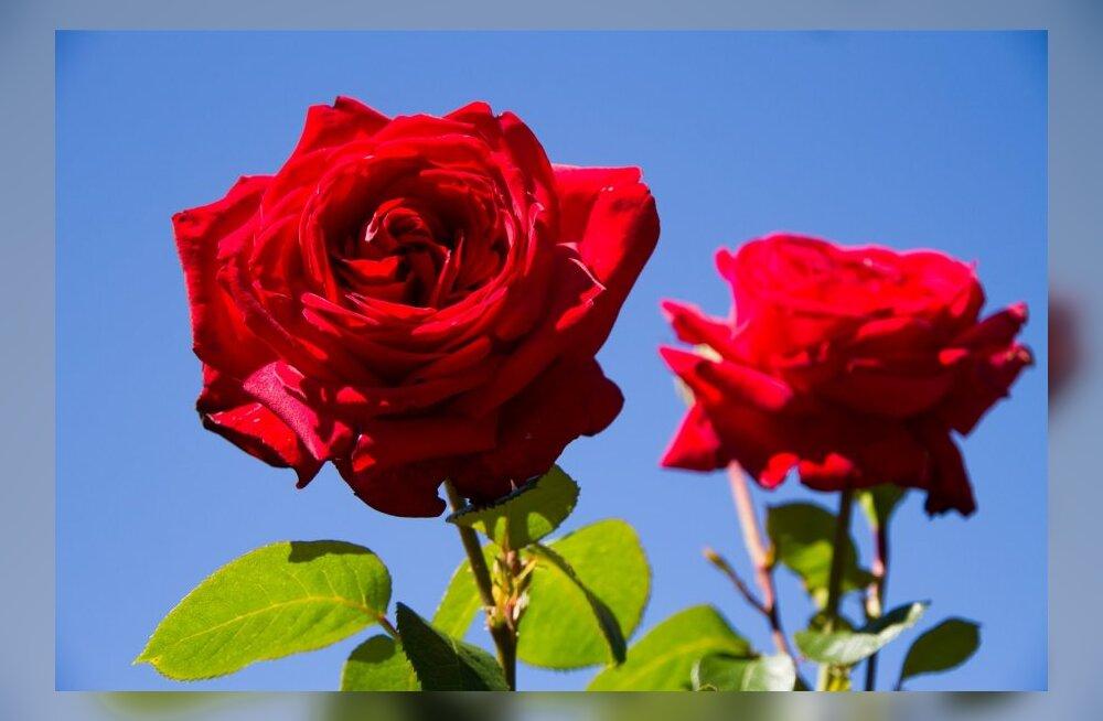 Minu Narva: punased roosid, kurjad koerad ja pidulikud riided ehk räägime Narva kommetest...