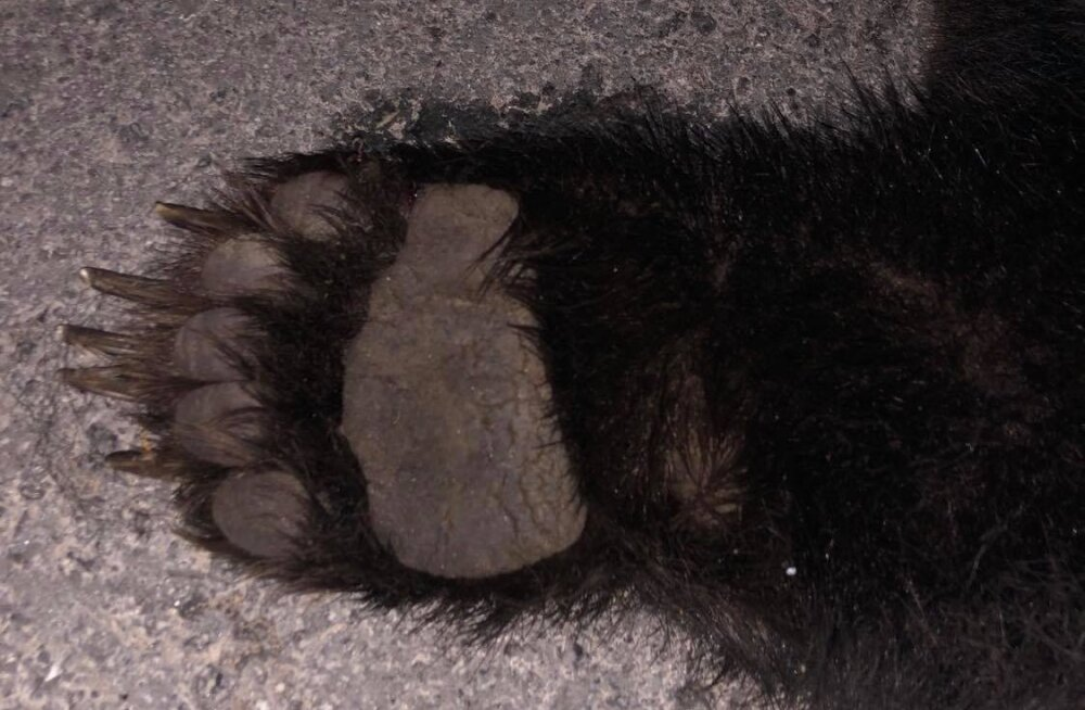 FOTO | Maanteel kahelt autolt löögi saanud karu hukkus